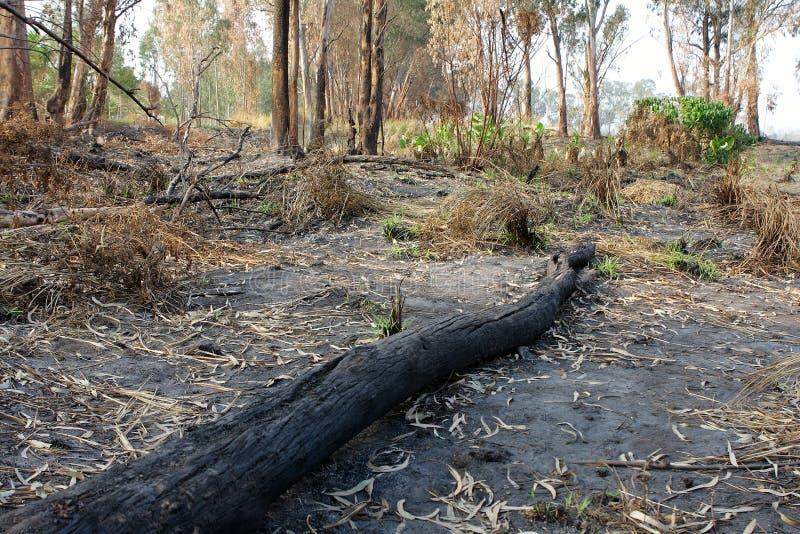 树被烧焦的树干在火以后的 免版税库存照片