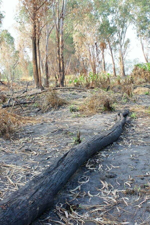 树被烧焦的树干在火以后的 图库摄影