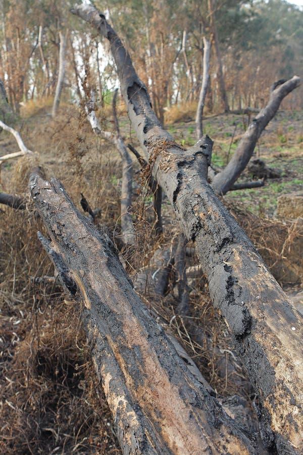 树被烧焦的树干在火以后的 库存照片