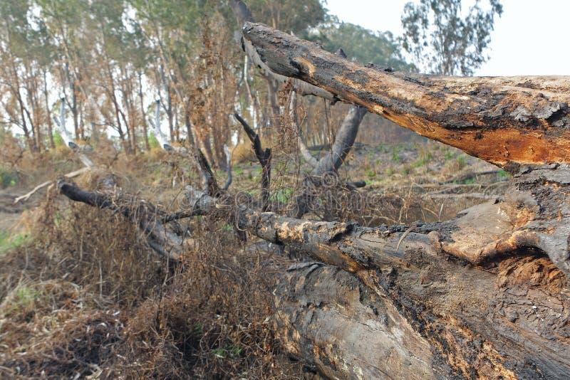 树被烧焦的树干在火以后的 免版税图库摄影