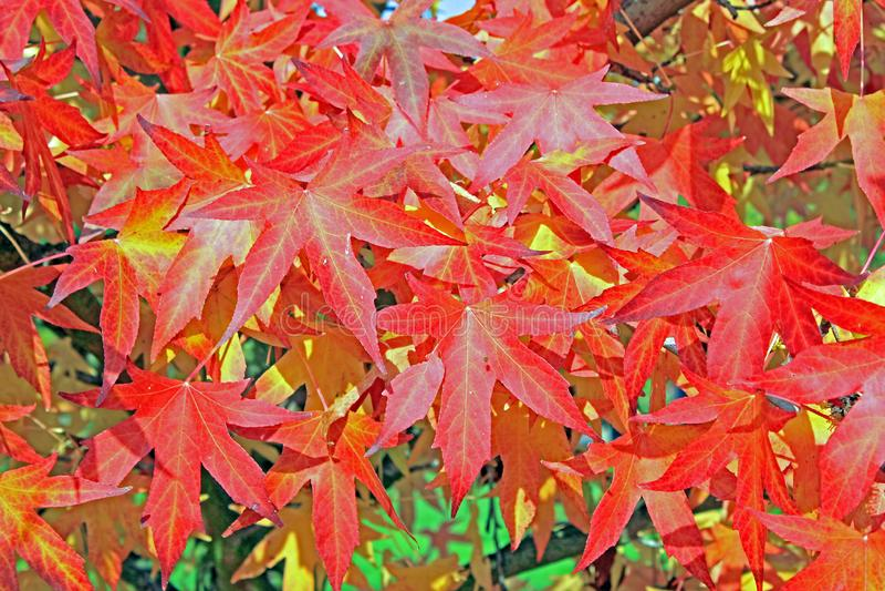 树证明:Sweetgum叶子树叶子 免版税库存照片