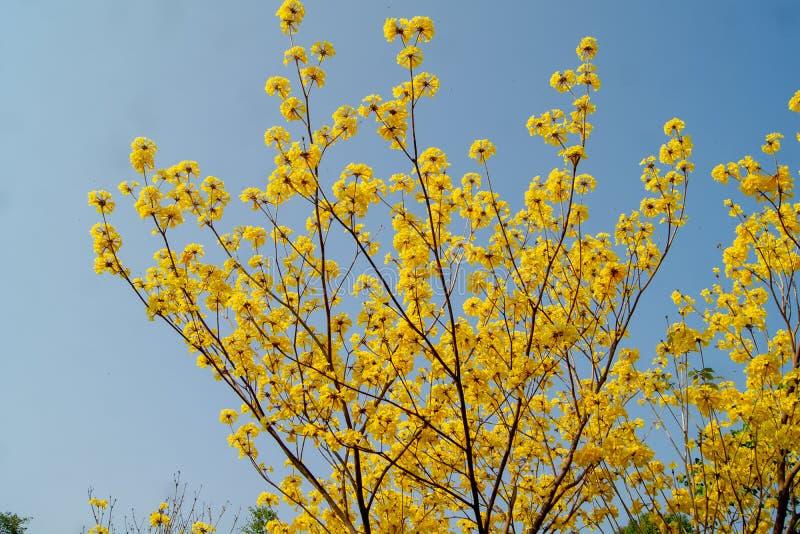 树金黄黄色有很多 免版税库存照片