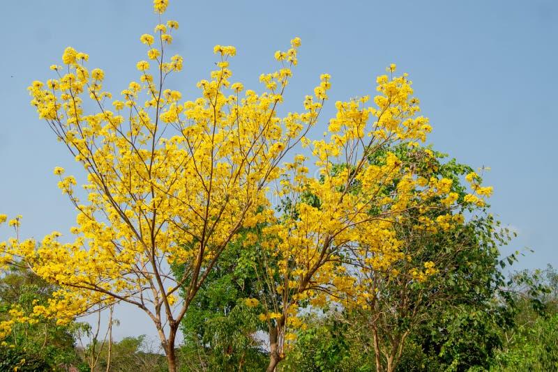 树金黄黄色有很多 图库摄影