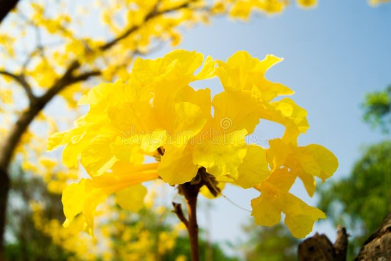 树金黄黄色有很多 库存照片