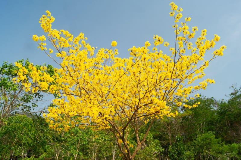 树金黄黄色有很多 免版税库存图片