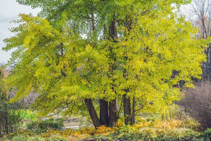 树银杏树在秋天,黄色叶子落 库存照片
