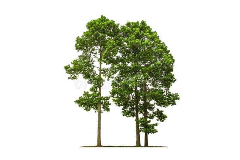 树隔绝有白色背景 免版税图库摄影