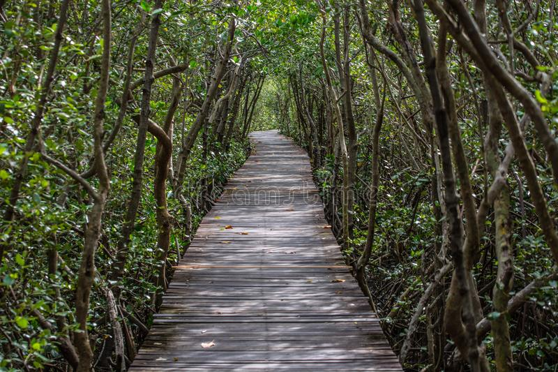 树隧道美洲红树森林在Laem Phak Bia宠物的自然痕迹 免版税库存图片