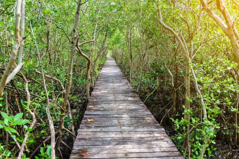 树隧道,木桥在美洲红树森林里 图库摄影