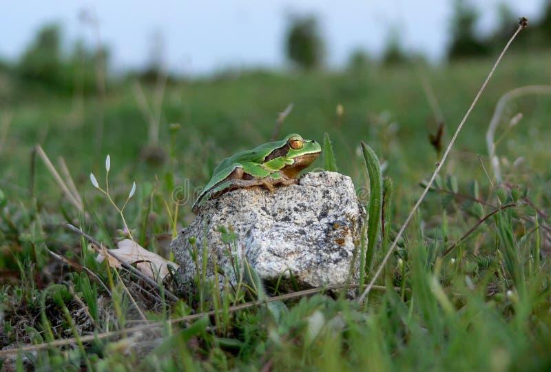 树青蛙 库存图片