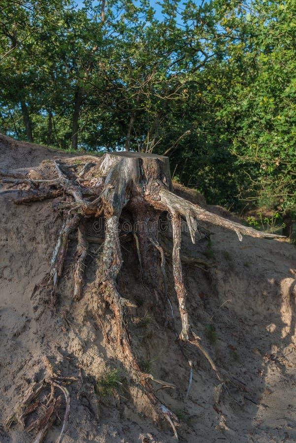 树从一棵击倒的树根源于沙子小山 免版税图库摄影