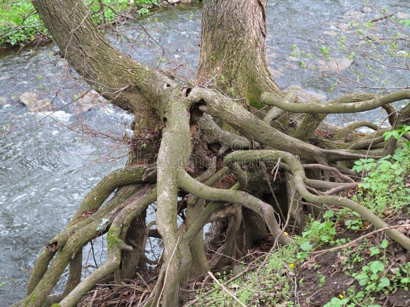 树紧紧举行-根  图库摄影