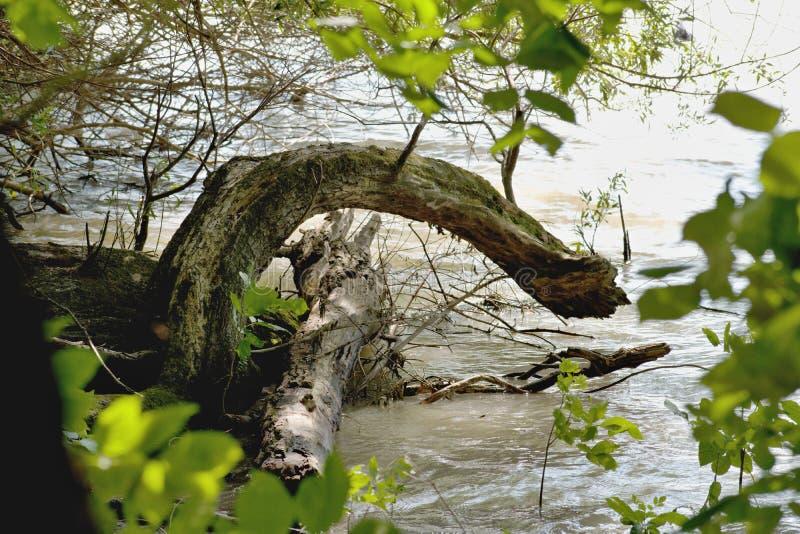树-多瑙河 图库摄影