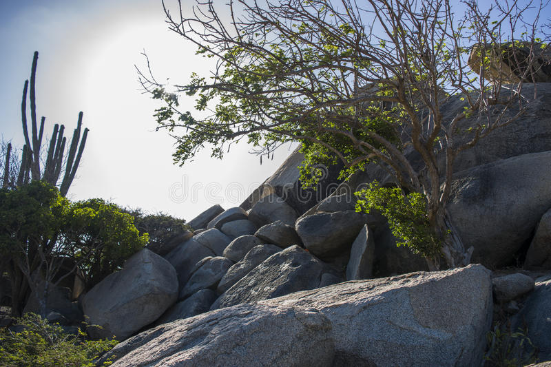 树&岩石在Casibari,阿鲁巴 库存照片
