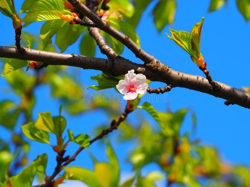 树绽放 免版税图库摄影