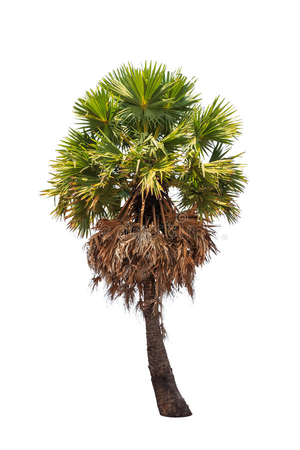 树头梭flabellifer,在白色背景隔绝的热带棕榈树 库存图片