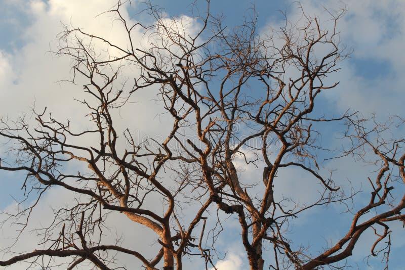 树黄檀属cochinchinensis在天空死 库存图片