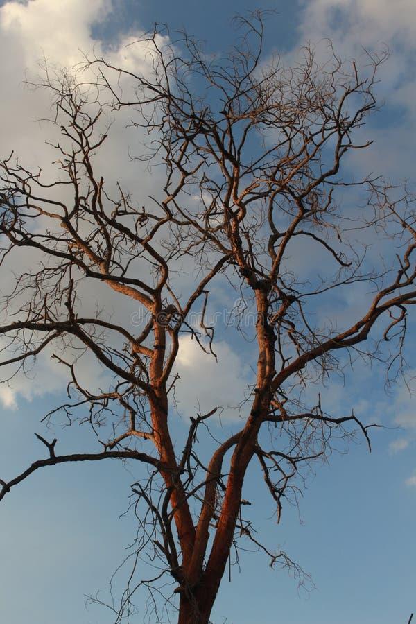 树黄檀属cochinchinensis在天空死 免版税库存图片