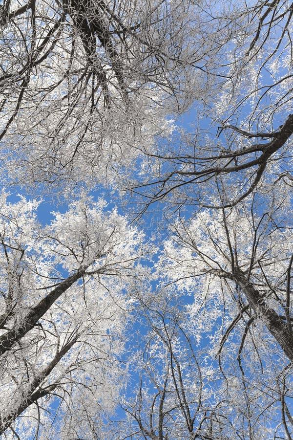 树冻结的分支在冬天森林里在立陶宛 免版税库存图片