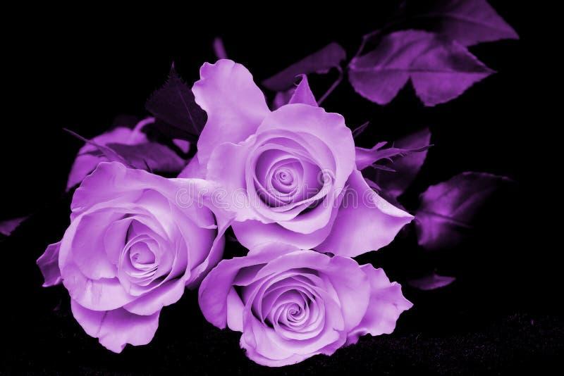 树紫色玫瑰 免版税库存图片