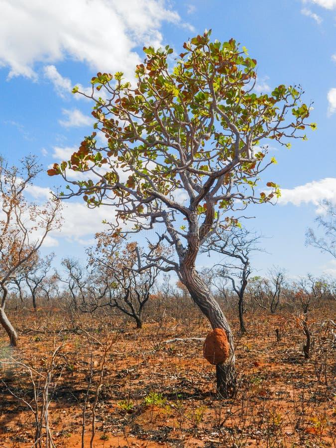 树巴西大草原(Cerrado) 免版税库存图片