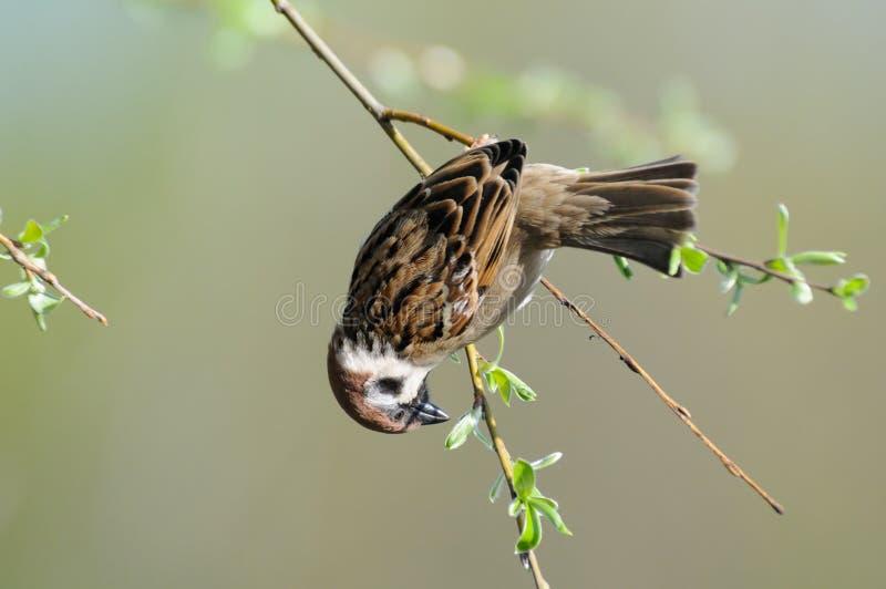 树麻雀垂悬颠倒在稀薄的树枝 免版税库存图片