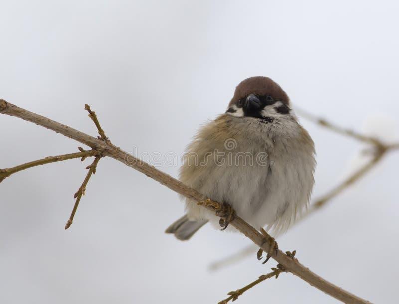 树麻雀 免版税图库摄影