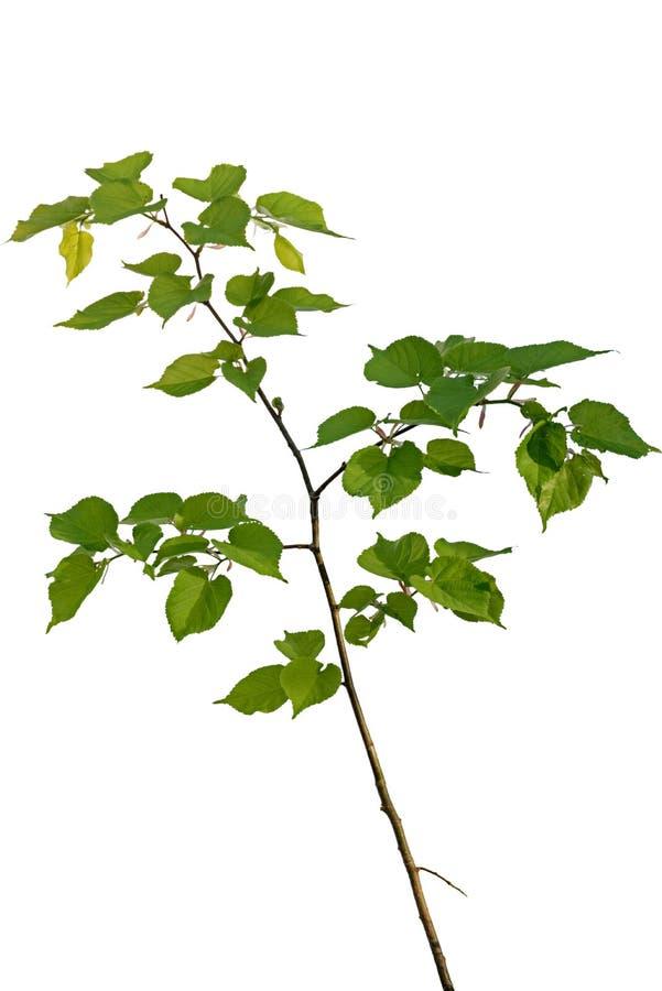年轻椴树 库存图片