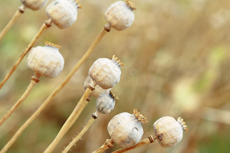 树poppyheads细节在领域的 库存图片