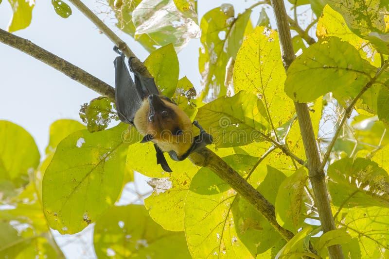 栖于印度果蝠扭转 免版税库存图片
