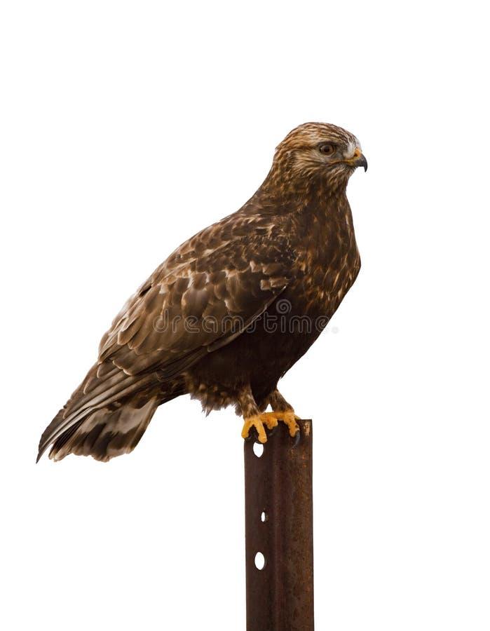 栖于被隔绝的白色的腿上有毛的鹰 库存图片