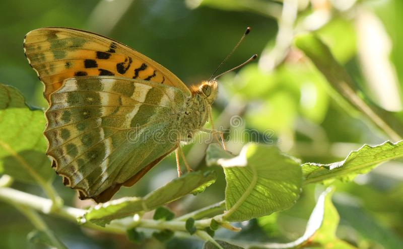 栖息在一片叶子的一美丽的银被洗涤的贝母蝴蝶Argynnis paphia在森林地 免版税库存照片