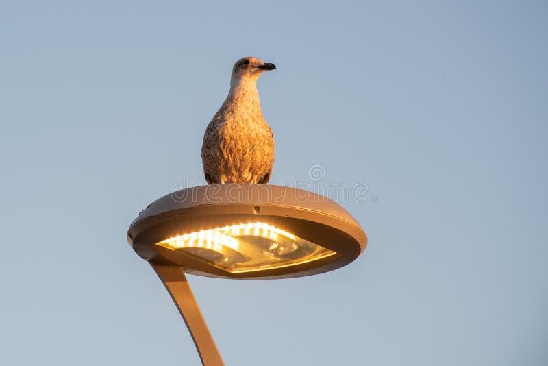 栖息在光的海鸥在晚上 免版税库存图片