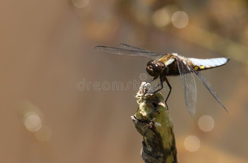 栖息在分支的一惊人的男性宽广有驱体的追赶者Libellula depressa在池塘的边缘 库存图片