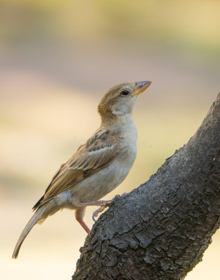 栖息在分支的母麻雀 免版税图库摄影