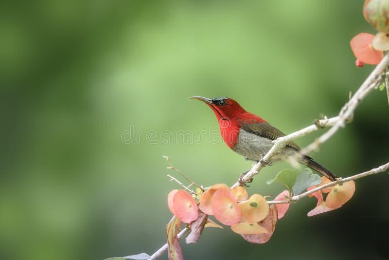 栖息在分支的红色鸟(绯红色Sunbird) 免版税库存图片