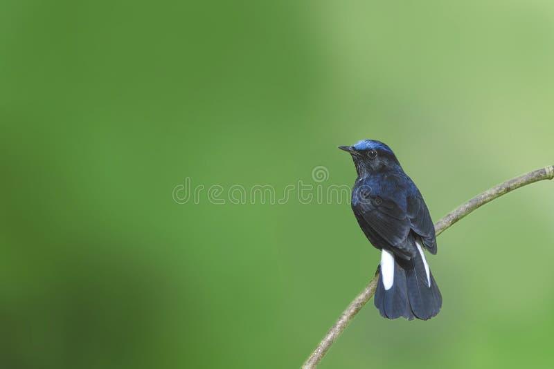栖息在分支的鸟(白被盯梢的罗宾) 库存图片