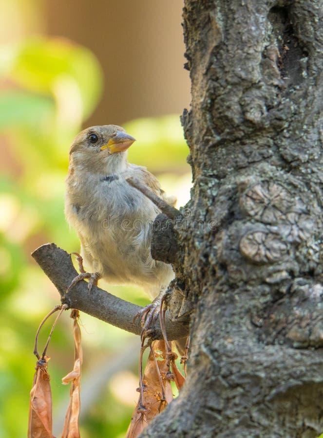 栖息在南欧紫荆树的母麻雀 库存图片