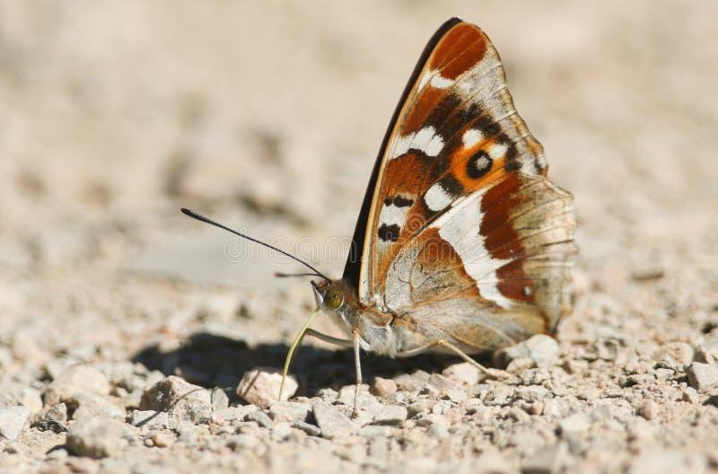 栖息在地面吃矿物的惊人的男性帝王紫蛱蝶闪蛱蝶属虹膜 免版税库存照片