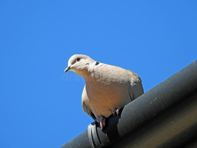 栖息在屋顶的英国抓住衣领口的鸠鸽子guttering 库存图片