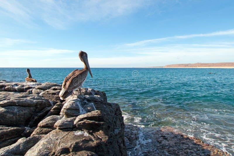 栖息在岩石露出的加利福尼亚布朗鹈鹕俯视的天际在喜瑞都海滩在蓬塔罗伯斯在下加利福尼亚州墨西哥 免版税库存图片