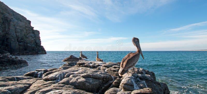 栖息在岩石露出的加利福尼亚布朗鹈鹕在喜瑞都海滩在蓬塔罗伯斯在下加利福尼亚州墨西哥 库存图片