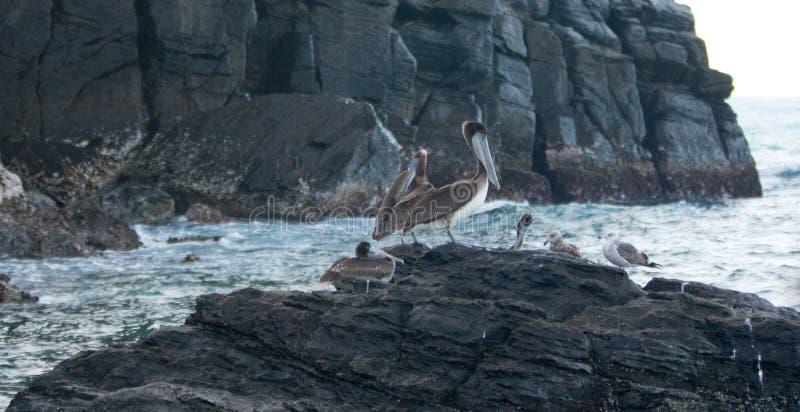 栖息在岩石露出的加利福尼亚布朗鹈鹕在喜瑞都靠岸在蓬塔罗伯斯在下加利福尼亚州墨西哥 免版税库存照片