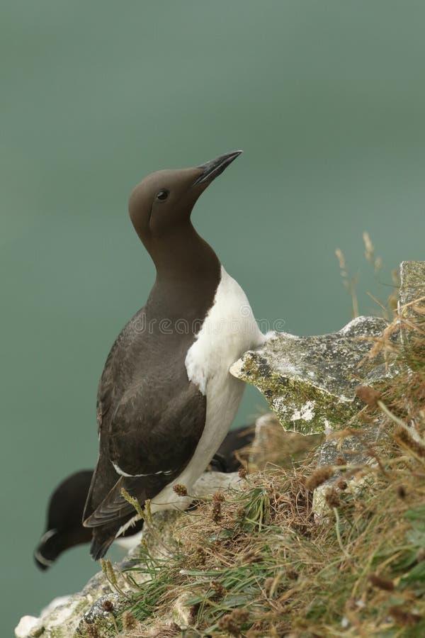栖息在峭壁边缘的一美好的海雀科的鸟尿aalge在英国 库存图片