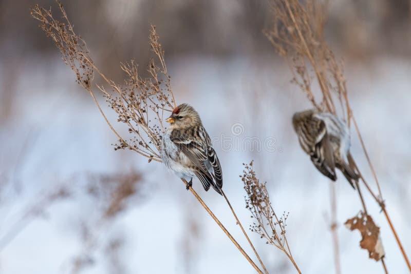 栖息在干燥orach的两群共同的红弱鸟抽去有白色背景 免版税库存图片
