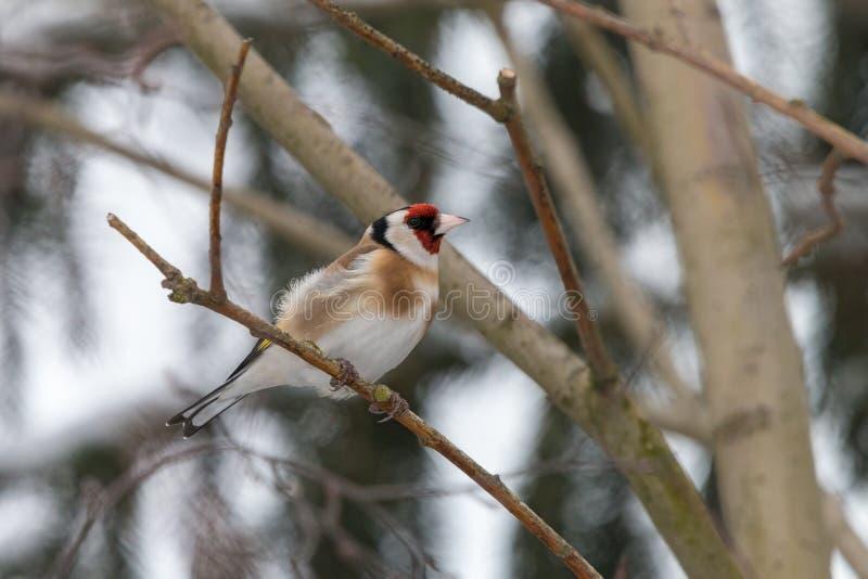 栖息在有被弄脏的分支的一根枝杈的欧洲金翅雀在背景中 免版税库存图片