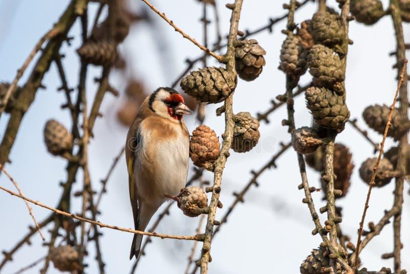 栖息在有锥体的落叶松属枝杈的欧洲金翅雀 免版税库存照片