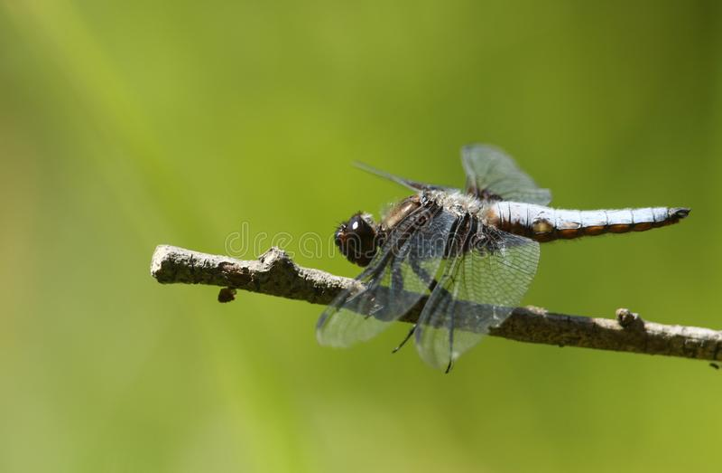 栖息在枝杈的一惊人的男性宽广有驱体的追赶者Libellula depressa在湖旁边 图库摄影