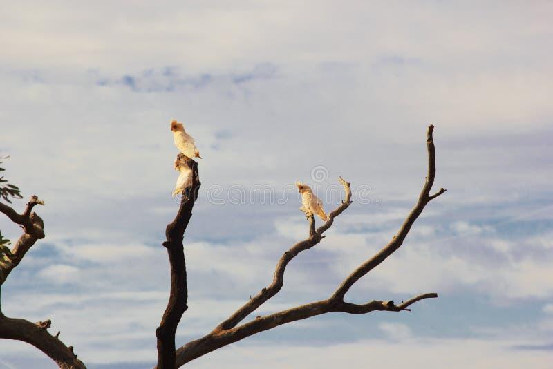 栖息在树的三只一点科雷利亚美冠鹦鹉 免版税库存图片
