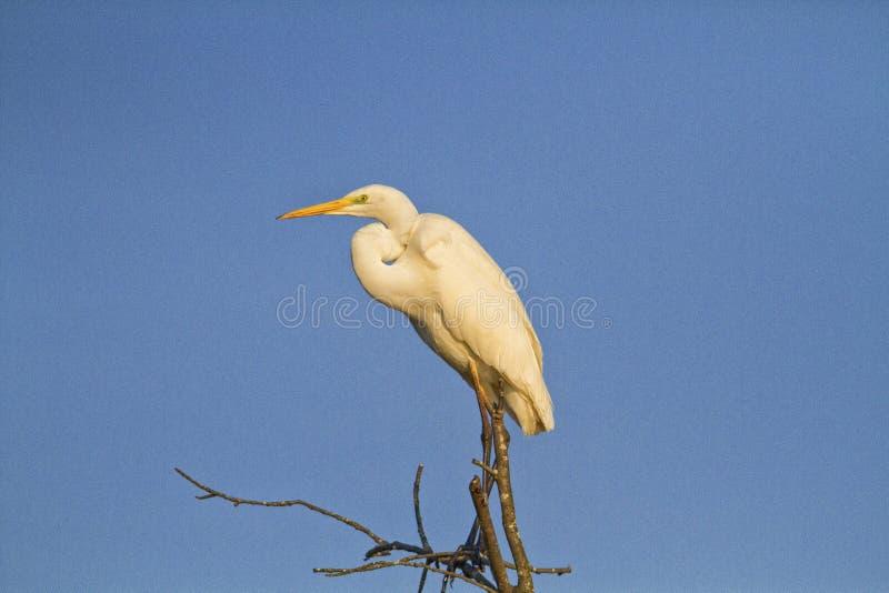 栖息在树的伟大的白鹭 免版税图库摄影